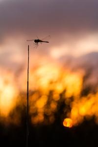 libélula con momento