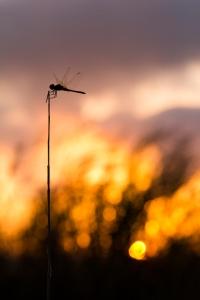 libélula sin momento