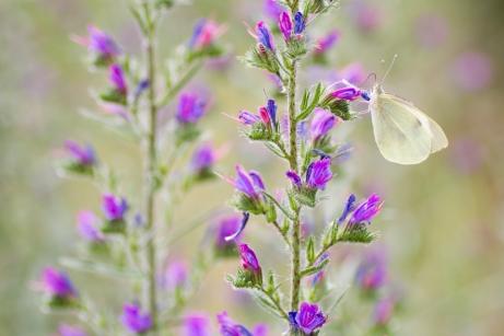 papallona i echium vulgare