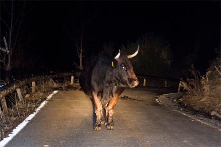 vaca carretera