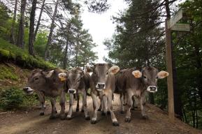 Vaca bruna del Pirineu.