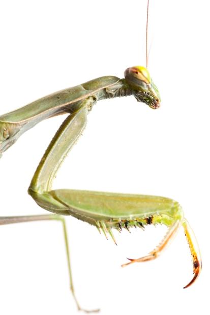 Mantis sobre blanc 2