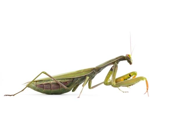 Mantis sobre blanc