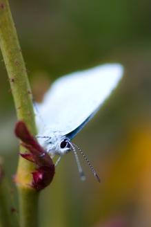 blaveta (celastrina argiolus)